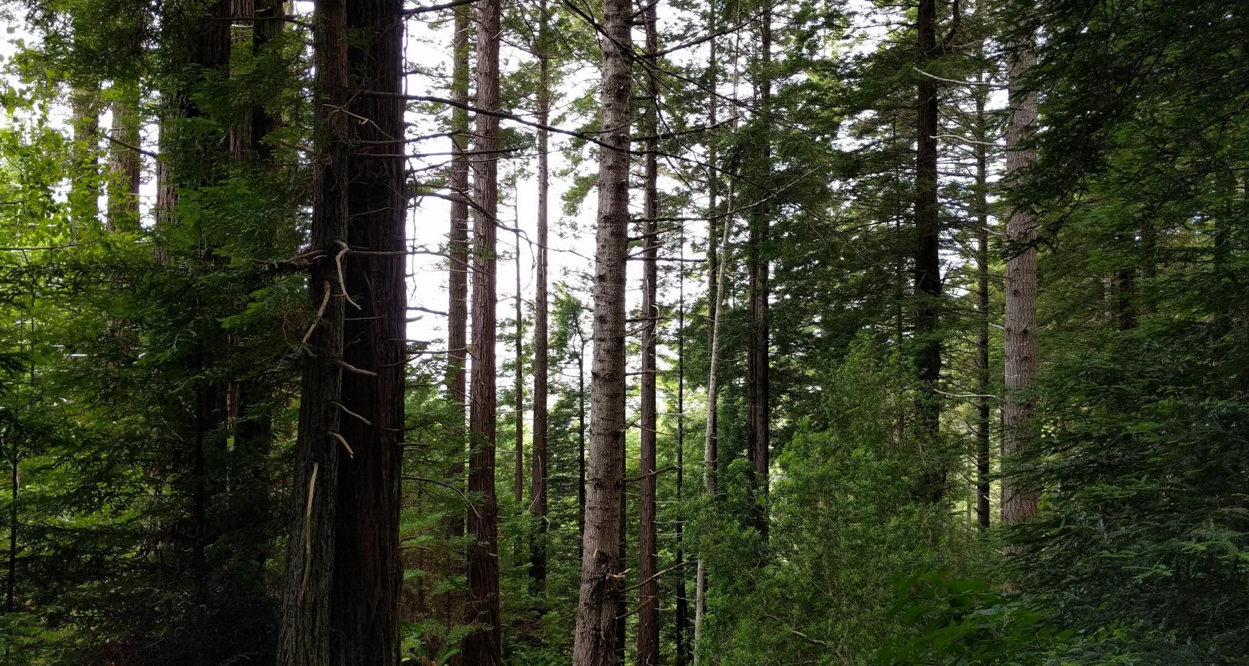Coastal foggy forest of redwood, Douglas-fir, and grand fir